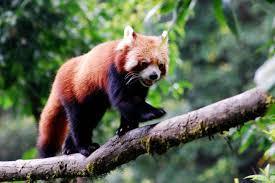 dar zoo red