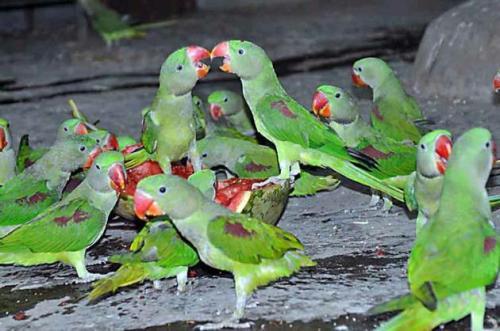del green parakeets
