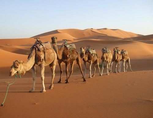 jod camel