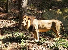 mum zoo lion