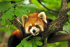 thi red panda