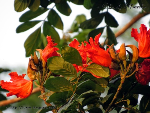 dhaki-botanical-african-tulip-spathodea-campanulata03