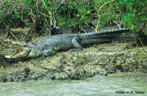 dhaki-sundarban-croc