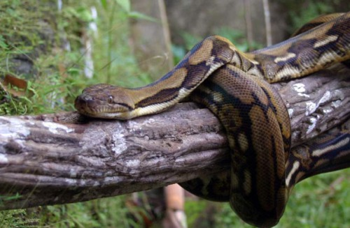 dhaki-sundarban-python