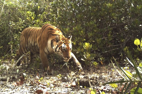 dhaki-sundarbans-tiger