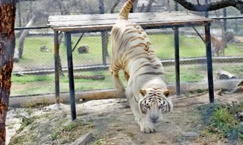 is-ayub-tiger