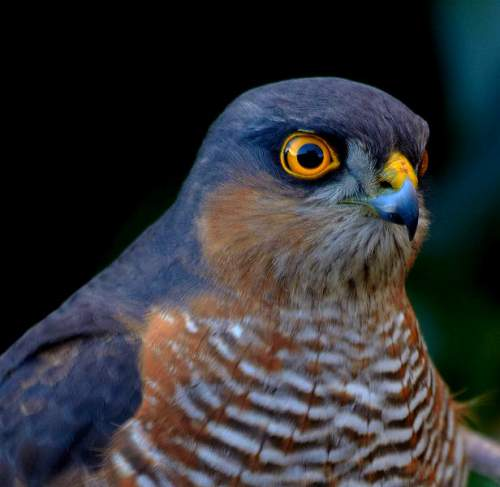 is-indian-sparrowhawk