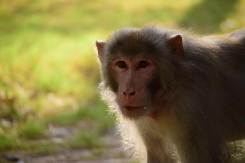 is-margalla-hils-national-monkey