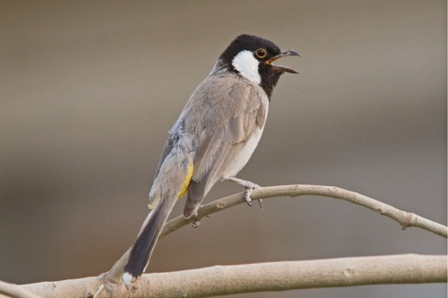 is-white-cheeked-bulbul