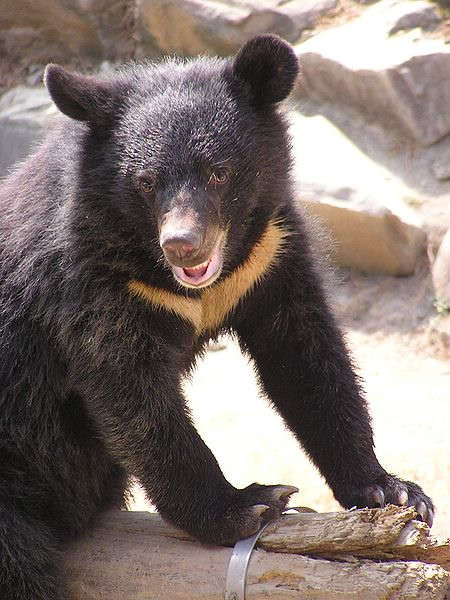 ka-formosan-black-bear