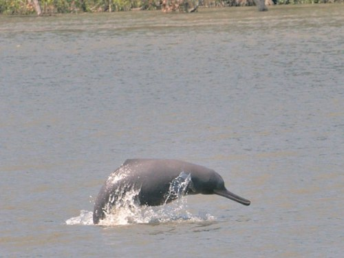 kath Gangetic River Dolphin