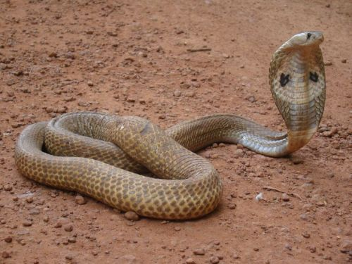 la-jallo-indian-cobra