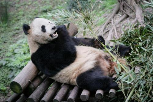 Netizen Accused Chongqing Zoo Not Giving Enough Bath To Giant Pandas