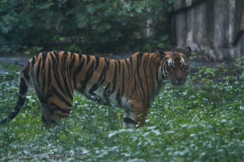 chon-zoo-south-china-tiger