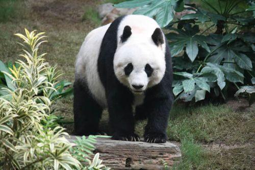 hong-giant-panda