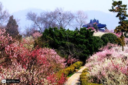 nan-plum-blossom-hill-nanjing-spring