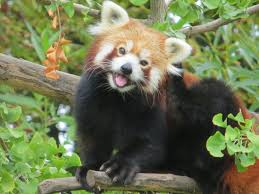 shan-zoo-red-pandas