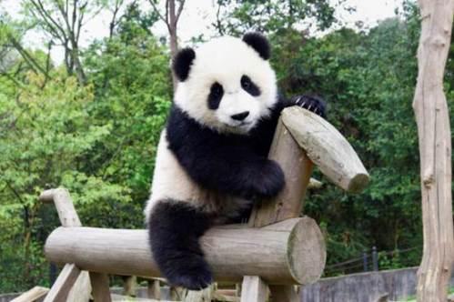 shang-zoo-giant-panda