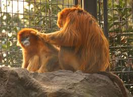 shang-zoo-golden-monkeys