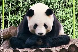 bei-panda
