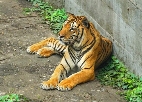 bei_zoo_tiger