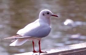 kun-green-lake-seagull