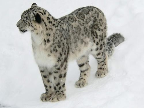 li-leopard