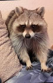 ark-zoo-raccoon