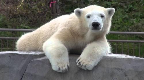 sap-zoo-polar-bear