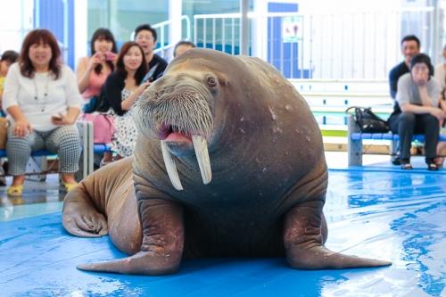 yoko-aqua-walrus