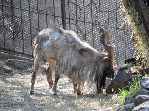 mol-zoo-markhor