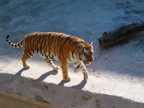 tash-zoo-tiger