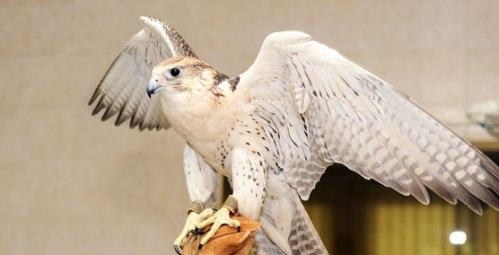 abu falcon 2