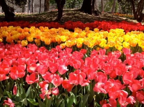 tur tokapi gulane tulips