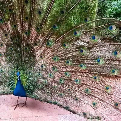 can gran-canaria-palmitos-park-peacock