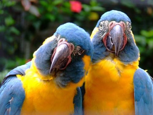 can loro parrots