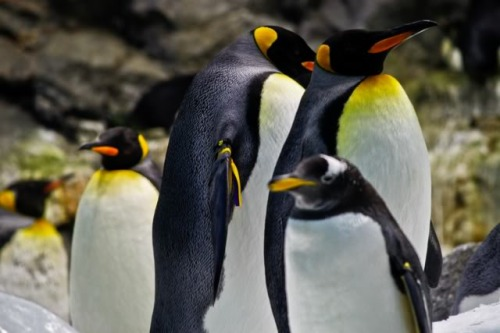 can loro penguins