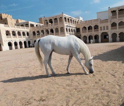 qatar arabian horses