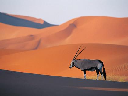 qatar zoo oryx