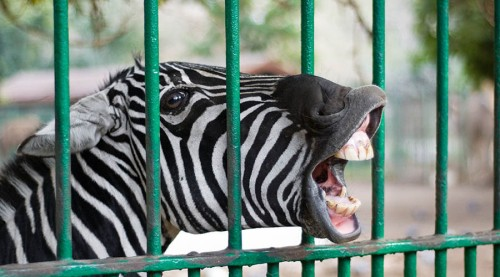 cairo zoo and the zebra had the last laugh