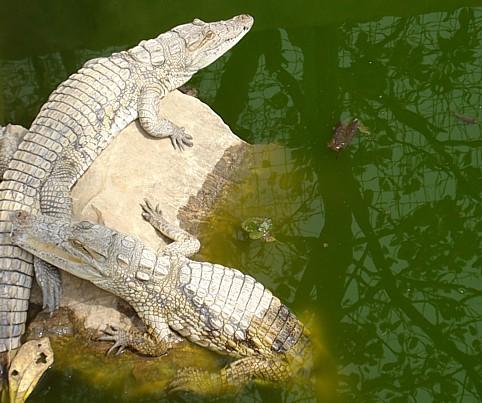 abuja zoo crocs