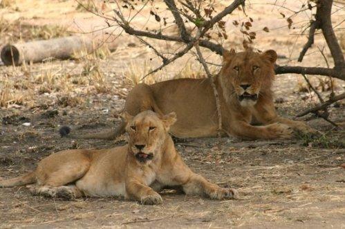 benin pendjari lions