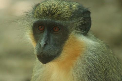 gambia green monkey