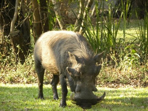 gambia kiang west warthog