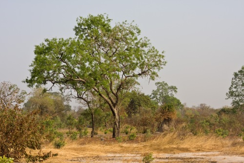 Tree in Kiang West/The Gambia