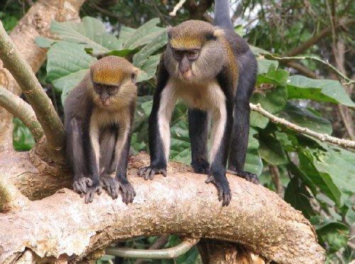 ghana kakhum monkeys