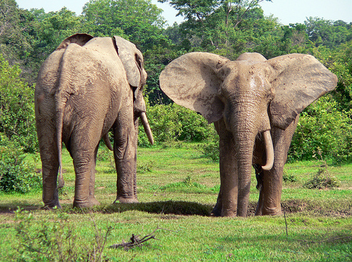 ghana mole elephants