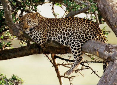 ghana mole leopard
