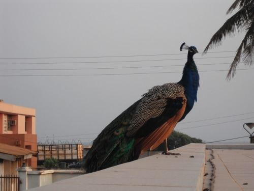ghana nkrumah peacock
