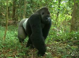 lagos alfi mountain cross river gorilla